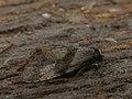 Cochylidia implicitana - Chamomile conch (27449695828).jpg