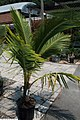 Cocos nucifera 23zz.jpg