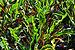 Codiaeum variegatum 31032014.jpg