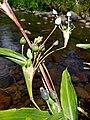 Coix lacrima-jobi (Poaceae) 02.jpg
