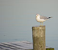 Cold Day For A Gull (6830739679).jpg