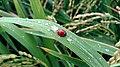 Coleoptera of Pakistan - Ladybug.jpg
