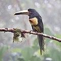 Collared Aracari (47929945793).jpg