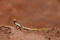 Collared Lizard (7337785420).jpg