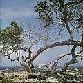Collectie Nationaal Museum van Wereldculturen TM-20029622 Stranddruif aan de kust Aruba Boy Lawson (Fotograaf).jpg