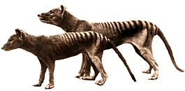 Colored-Crop-Tasmanian tiger.jpg