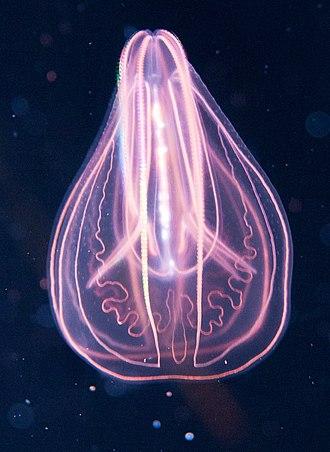 Planulozoa - Image: Comb jelly