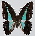 Common Blue Bottle (Graphium sarpedon) (8368105076).jpg
