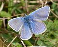Common Blue male Polyommatus icarus - Flickr - gailhampshire.jpg