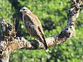 Common Buzzard IMG 1511.jpg