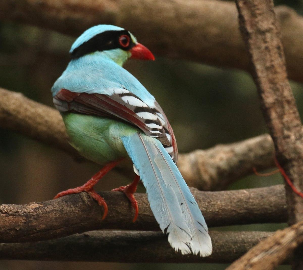 Common green magpie - Wikipedia