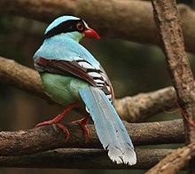 Common Green Magpie 3.jpg