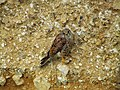 Common Kestrel on Cliffside near Beer, Devon (1).jpg