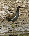 Common Moorhen (Gallinula chloropus) - Flickr - Lip Kee (1).jpg