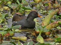 Common Moorhen (Gallinula chloropus) at Kolkata I IMG 2458.jpg