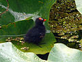 Common Moorhen chick on lily (5821801181) (2).jpg