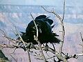 Common Raven Grand Canyon 3.jpg