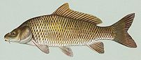 Common carp, Cyprinus carpio