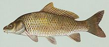 An illustration of the carp.