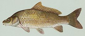 http://upload.wikimedia.org/wikipedia/commons/thumb/a/a8/Common_carp.jpg/275px-Common_carp.jpg
