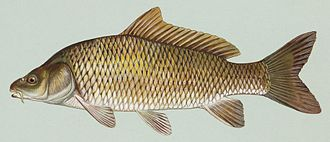 Aquaculture in China - The common carp was the number one fish of aquaculture in antiquity, and today, worldwide, is still extensively cultured.