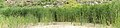 Common reed - Phragmites australis.jpg