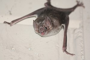 Common vampire bat, Desmodus rotundus.jpg