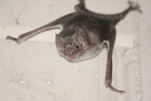 Common vampire bat, Desmodus rotundus