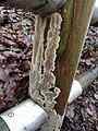 Coniophora puteana 107161014.jpg