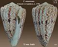 Conus araneosus 1.jpg