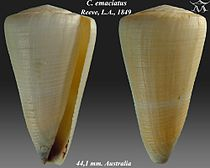 Conus emaciatus 1.jpg