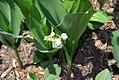 Convallaria majalis rosea 3zz.jpg