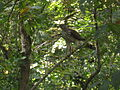 Cooper's Hawk, McConnel Springs Park in Lexington, Kentucky 2.jpg