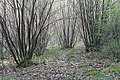 Coppiced sweet chestnut woodland.jpg