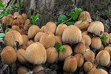 A cluster of about two dozen tawny-brown mushrooms growing from the base of a tree.