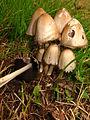 Coprinopsis atramentarius (8110279671).jpg