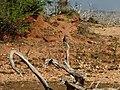 Coracias benghalensis Yala National Park 2017-10-26 (1).jpg