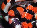 Coral Cylinder Snake (Anilius scytale) (7774185314).jpg