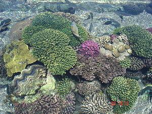 Русский: Кораллы в Израиле