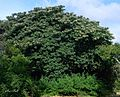 Cordia africana02.jpg