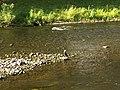 Cormorant - panoramio (2).jpg