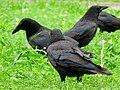 Corvus macrorhynchos in Hisaya-odori Park - 3.jpg