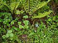 Corydalis cashmeriana (7851448182).jpg