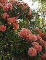 Corymbia ficifolia 2.jpg