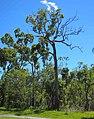 Corymbia trachyphloia.jpg