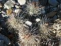 Coryphantha pseudoechinus (5710825130).jpg