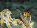Corythoichthys ocellatus.jpg
