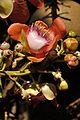 Couroupita guianensis - Murshidabad 2014-11-11 8901.JPG