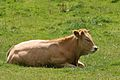 Cow, near Hathersage, Peak District.jpg