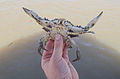 Crab caught in Gambia.jpg